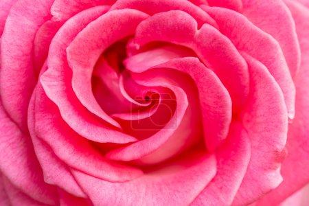 Natural blooming rose