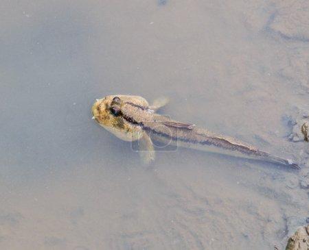 Thailand Mudskipper fish