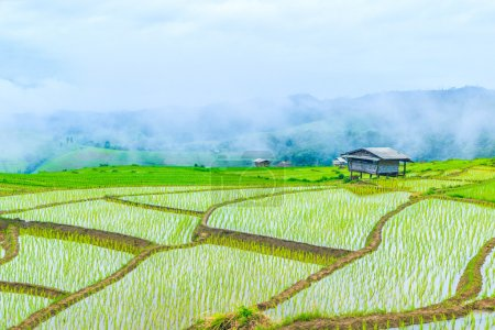 rice field in pa pong pieng