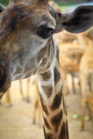 Photo pour Animal sauvage de girafe au zoo - image libre de droit