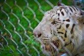 "Постер, картина, фотообои ""Дикий белый тигр животное"""