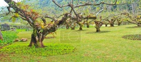 Plum trees in garden