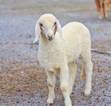 Photo pour Funny animal de moutons sur la ferme - image libre de droit