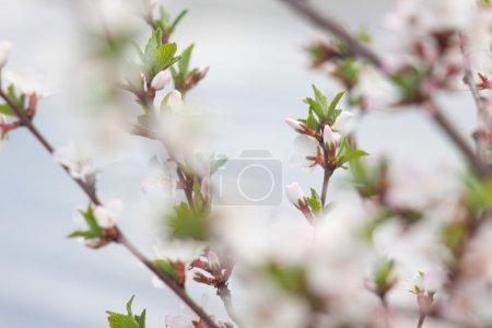 Spring flowering. Blurring background,