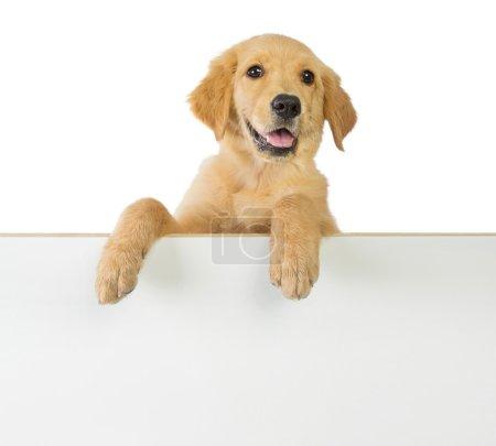 Golden retriever dog holding on a white blank board