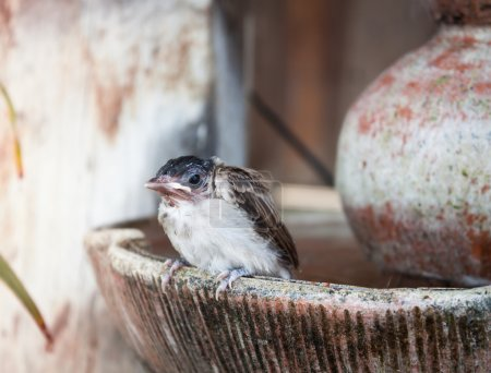 Close up of a young sparrow at fountain