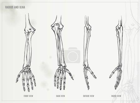 Ulna, radius and hand bones