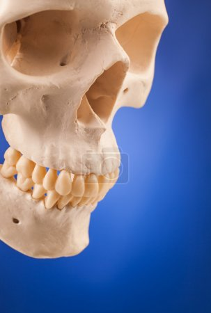 Human scull close up