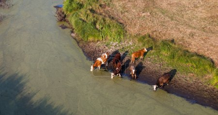 aerial view of herd of cows at summer green field drinking on th