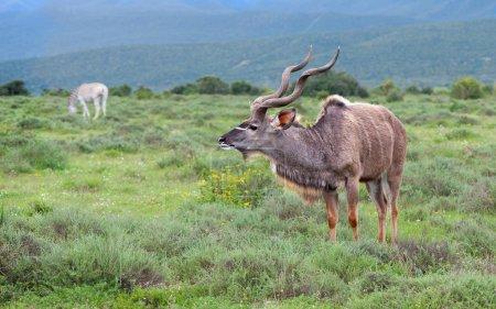 Alert Kudu scans the area