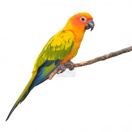 Sun Conure Parrot perching on a branch isolated on...