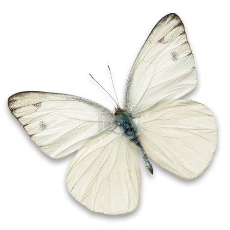 Photo pour Papillon blanc isolé sur fond blanc - image libre de droit