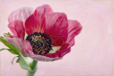 Photo pour Gros plan de fleur d'anémone avec fond de texture peinte artistique - image libre de droit