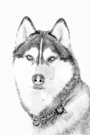 Photo pour Husky dans un champ neigeux en hiver en Sibérie - image libre de droit