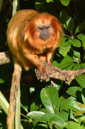 Photo pour Un tamarin lion d'or Le tamarin lion d'or est une espèce en voie de disparition dont la population sauvage est estimée à environ 3 200 individus. . - image libre de droit