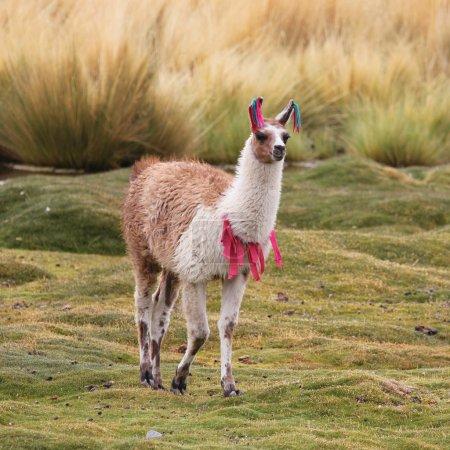 Photo pour Llama sur la prairie - image libre de droit