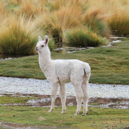 Foto de Llama en el prado - Imagen libre de derechos