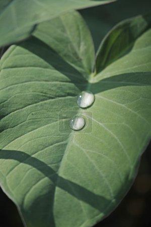 Taro leaves, Colocasia esculenta
