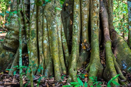 Photo for Big tree roots or stems in rainforest National park Periyar Wildlife Sancturary, India - Royalty Free Image
