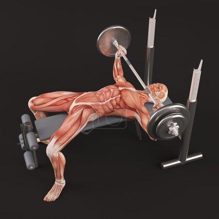 Exercice de musculation gym. Appuyez sur banc d'haltères poignée large. Groupe musculaire thoracique