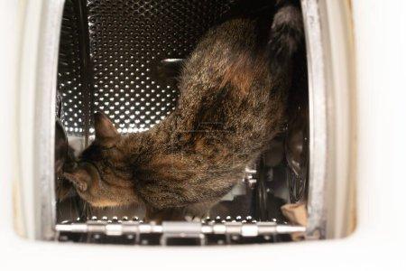 Photo pour À l'intérieur de la machine à laver, un chat multiracial marche sur un tambour perforé et vérifie de nouvelles odeurs pour elle. Cheveux courts à rayures noires. - image libre de droit