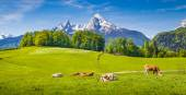 Idyllic landscape in the Alps with cows grazing on green meadows