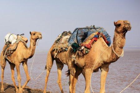 Afar herders lead a camel caravan. Danakil-Ethiopia. 0267