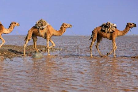 Afar herder driven caravan of dromedary camels. Danakil-Ethiopia. 0279