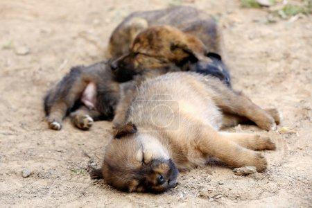 Three puppy dogs sleeping on the floor of a street...