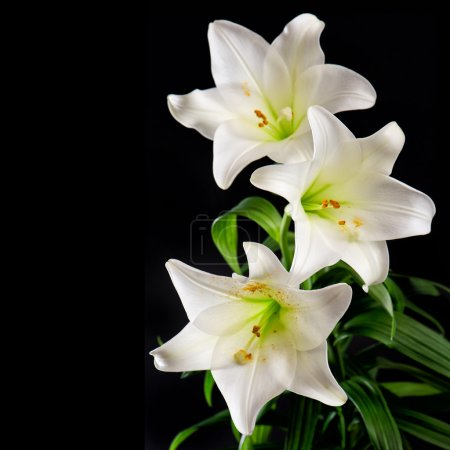 White lily flowers bouquet on black background. Co...