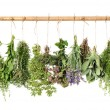 Fresh herbs hanging isolated on white background. ...