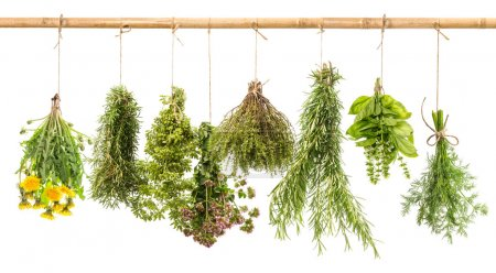 Photo for Fresh herbs isolated on white background. Hanging bunches of dill, basil, rosemary, thyme, oregano, marjoram, dandelion. Tasty food ingredients - Royalty Free Image