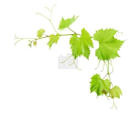Photo pour Les feuilles de vigne isolé sur fond blanc avec ombre. Feuille verte - image libre de droit