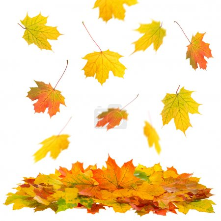 Photo for Colorful falling Maple leaves isolated on white background - Royalty Free Image