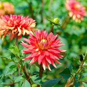 Dahlia květiny na pozadí zelené keře