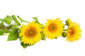 Květy slunečnice