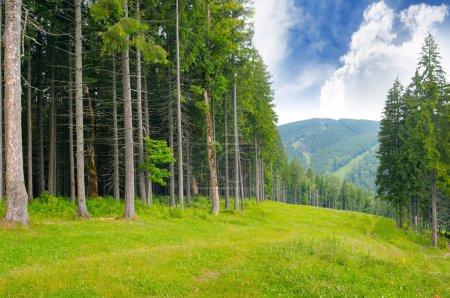 Photo pour Bois de pin à flanc de colline - image libre de droit