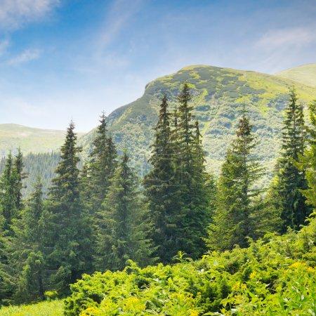 Photo pour Forêt d'épinettes à flanc de colline - image libre de droit
