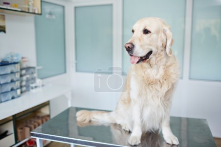 Purebred dog sitting on table
