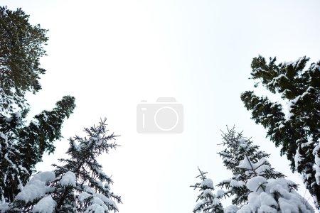 Photo pour Hauts de sapins recouverts de neige contre le ciel hivernal - image libre de droit
