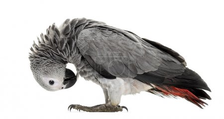 African gery parrot feather-picking in front of a white backgrou