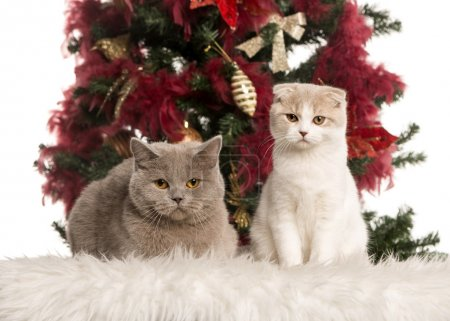 Photo pour British Shorthair (2 ans) et un chaton Scottish Fold (4 mois) assis et couché devant un arbre de Noël - image libre de droit