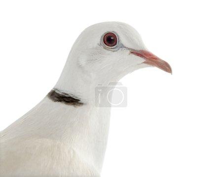 Photo pour Gros plan d'une colombe africaine collier isolée sur blanc - image libre de droit