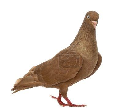 Photo pour Tumbler belgium pigeon marche, isolé sur blanc - image libre de droit