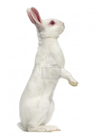 Photo for White albino hare on his hind legs isolated on white - Royalty Free Image