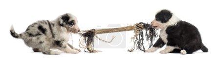 Photo pour Deux chiots croisés jouant avec une corde isolée sur blanc - image libre de droit