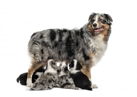 Mom purebred and her crossbreed puppies isolated on white