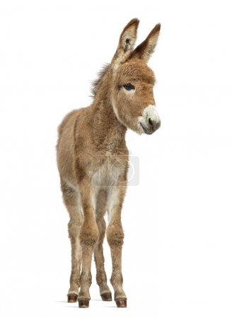Photo for Front view of a young provence donkey, foal isolated on white - Royalty Free Image