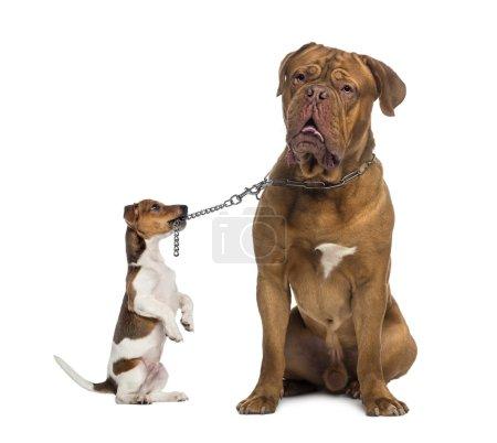 Photo pour Jack Russell tenant un Dogue de Bordeaux avec une laisse à chaîne - image libre de droit
