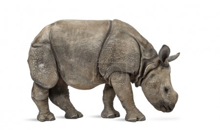 Young Indian one-horned rhinoceros (8 months old)